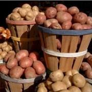 Картофель сортовой. Картофель. Купить картофель. Купить картофель от производителя. фото