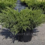 Можжевельник Mint Julep 30-40 см, С2 фото