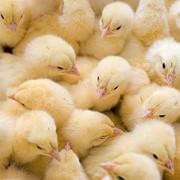 Куры и цыплята фото