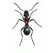 Борьба с муравьями, Дезинфекция, дезинсекция, дератизация фото