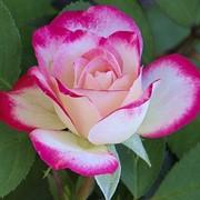 Роза Гожар (Rose Gaujard) фото