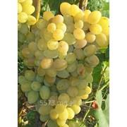 Виноград сорт Презентабил фото