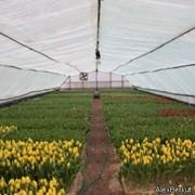 Тюльпаны оптом от производителя к 8 марта фото