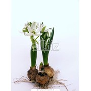 Луковицы цветов в ассортименте Чернигов, Черниговская обл. фото