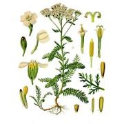 Лекарственные растения фото