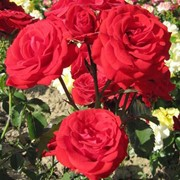 Роза Нордия фото