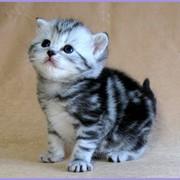 Британские котята черного серебристого мраморного окраса фото