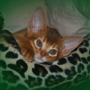 Абиссинские и персидские котята фото