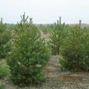 Доставка живых новогодних сосен и елок фото