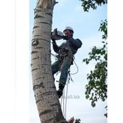 Снос деревьев без помощи спецтехники. Работают арбористы фото
