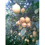 Лимоны свежесорванные, сорт мейер таджикский, разного размера, высокого качества фото