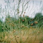 Спаржа лекарственная (трава) 50г фото