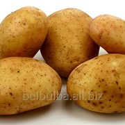 Картофель сорта Агата второй репродукции фото