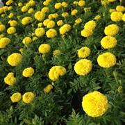 Бархатцы, Чернобривцы, питомник растений, Белая Церковь, Киев, цветы фото