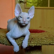 Котята донского сфинкса фото