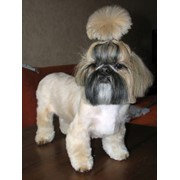Стрижка собак. Выезд мастера на дом, юао, ювао. фото