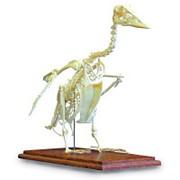 Модель серого гуся (Anser anser) фото