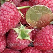 Саженцы вкусной малины ремонтантной Брусвяна фото