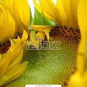 Семена подсолнечника от производителя:Ясон Славсон фото