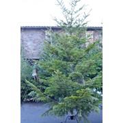 Натуральная новогодняя ель, сорт Пихта Европейская 2-3 м., фото