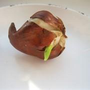 Луковицы тюльпанов высокого качества фото