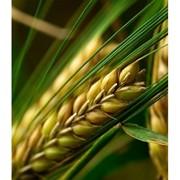 Семена озимого ячменя Платон, Кариока, Кондрат, Рубеж, Стратег, Эспада фото