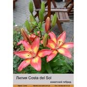Лилия Азиатский гибрид двухцветный Costa del Sol фото