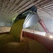 Пшеница продовольственная 3,4,5 класса фото