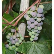 Виноград Mika фото