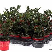 Падуб остролистный -- Ilex aquifolium фото