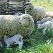 Продам овцематок асканийской породы фото