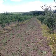 Продам яблоневый сад фото