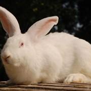 """Кролик """"Белый великан"""" (самка, самец, молодняк) фото"""