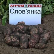 Картофель среднеспелый Славянка фото