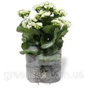 Композиция из цветущих комнатный растений -- arrangements Indoor plants flowering фото