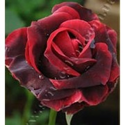 Роза Чайно-гибридная Папа Маян фото