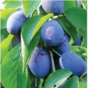 Puieti de pomi fructiferi prune фото