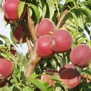 Сорт персика Инка фото