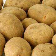 Картофель сорта Бриз фото
