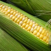 Заготовка, сушка, хранение, калибровка гибридной кукурузы фото