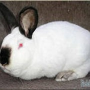 Племенные кролики калифорнийской породы фото