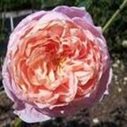 Роза шраб Колет. фото