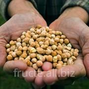 Нут, выращивание в Молдове фото