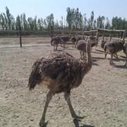 Подрощенные цыплята страуса фото
