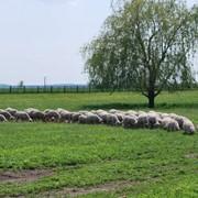 Овцы племенные цигейской породы, продажа овец племенных фото
