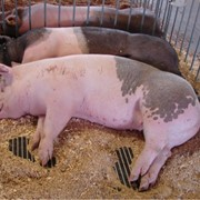 Забой свиней фото