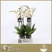 Орхидея Фаленопсис антура Бристоль -- Phalaenopsis anthura Bristol фото