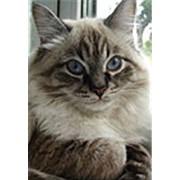 Невские маскарадные кошки фото