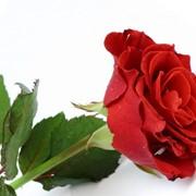 Розы голландские фото
