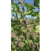 Продается сад черешни 3 га фото